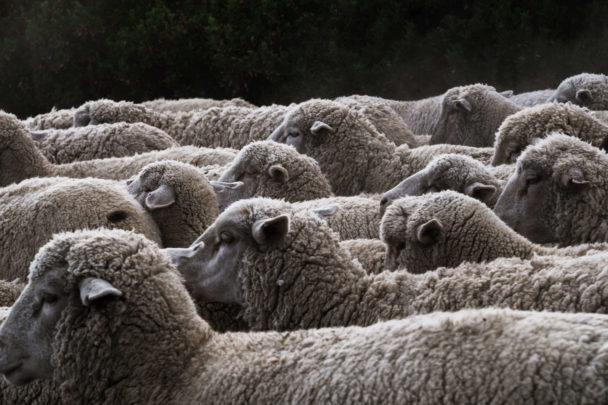 Sheeps Wool Insulation: Can This Work to Reduce Heat?