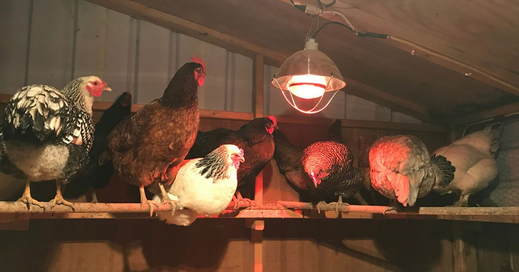 chickens inside a coop
